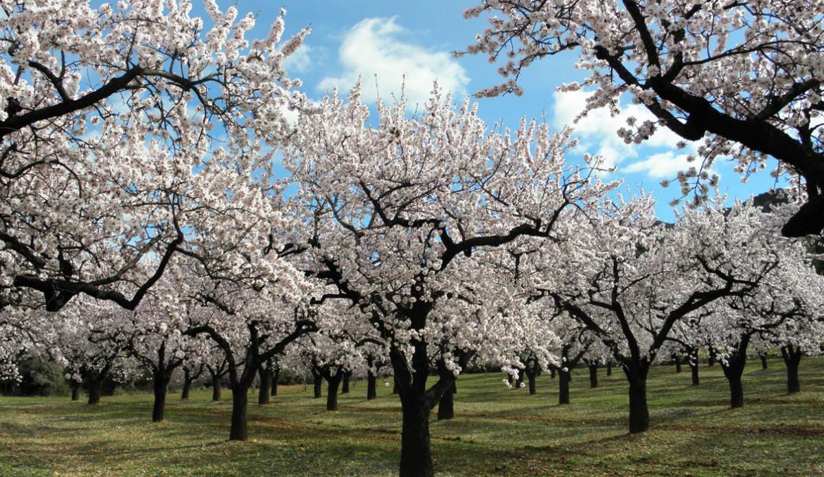 Utflykt till Mandelträdens blomning
