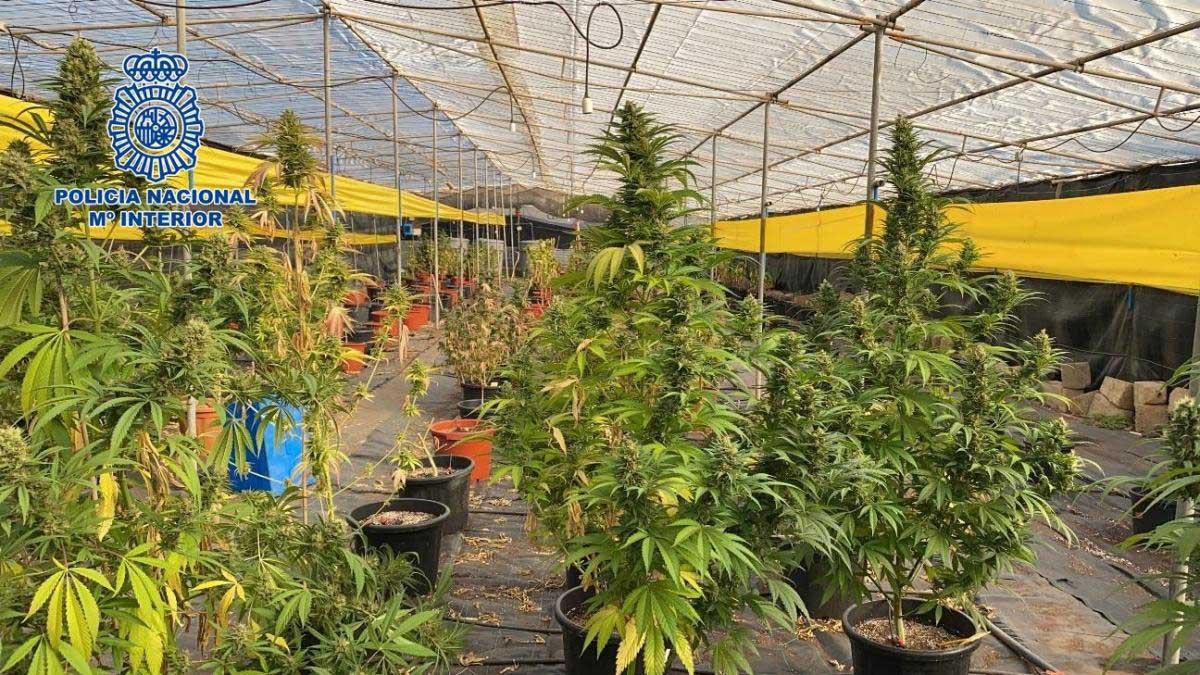 Marijuana plantering