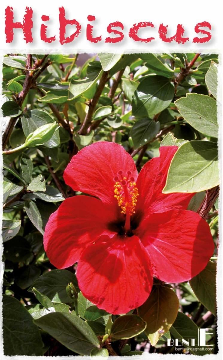 Hibiscus blomma