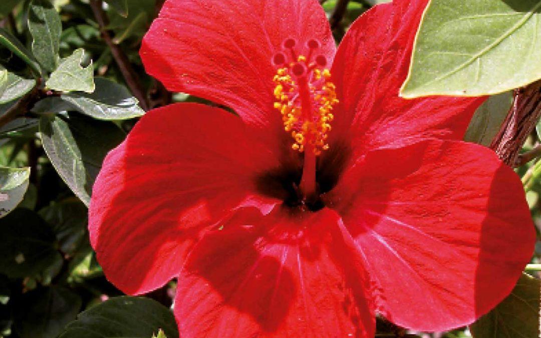 Hibiscus -rosa-sinensis
