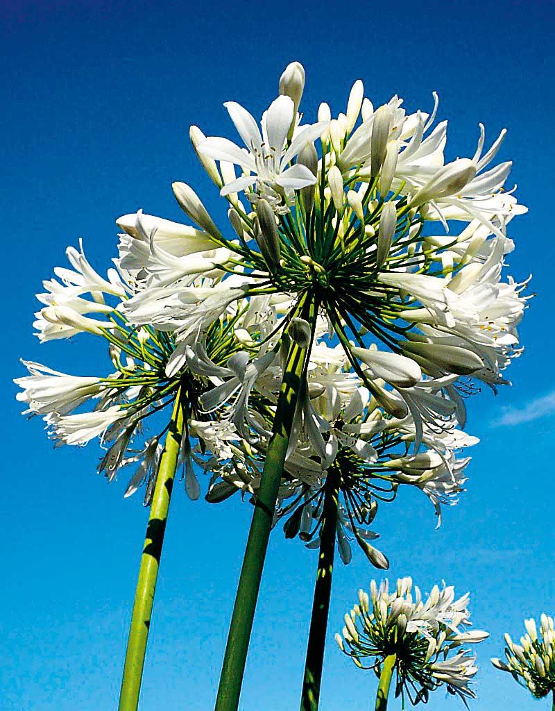 Amarylli blomma