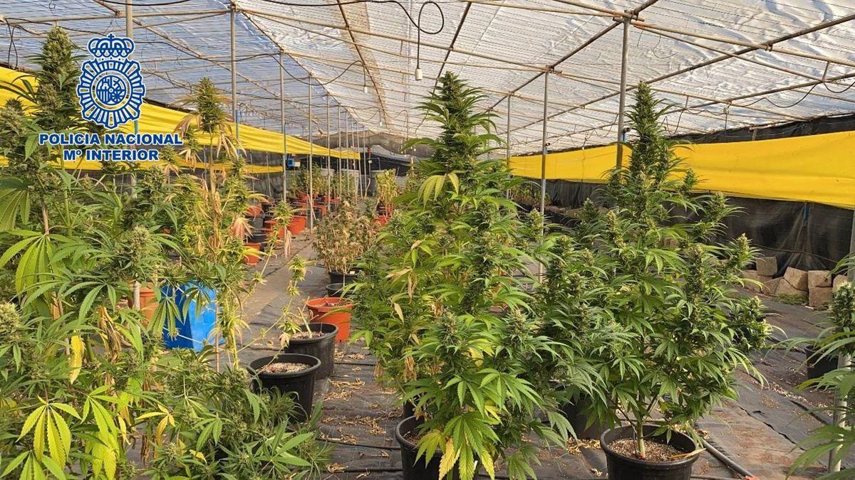 Cannabis plantor